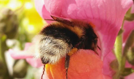 See the World's Greatest Collection of Bumblebee Butts