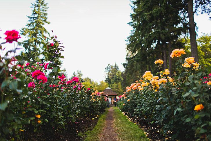 Where To Find Roses In Portland Oregon Aka Rose City Furilia