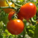 Unbelievable Health Benefits Of Tomatoes That You Should Know