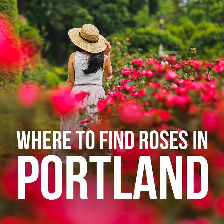 Where to Find Roses in Portland Oregon aka Rose City 50