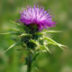 Milk Thistle Extract Has Shown Extremely Promising Activity Against Human Liver Cancer