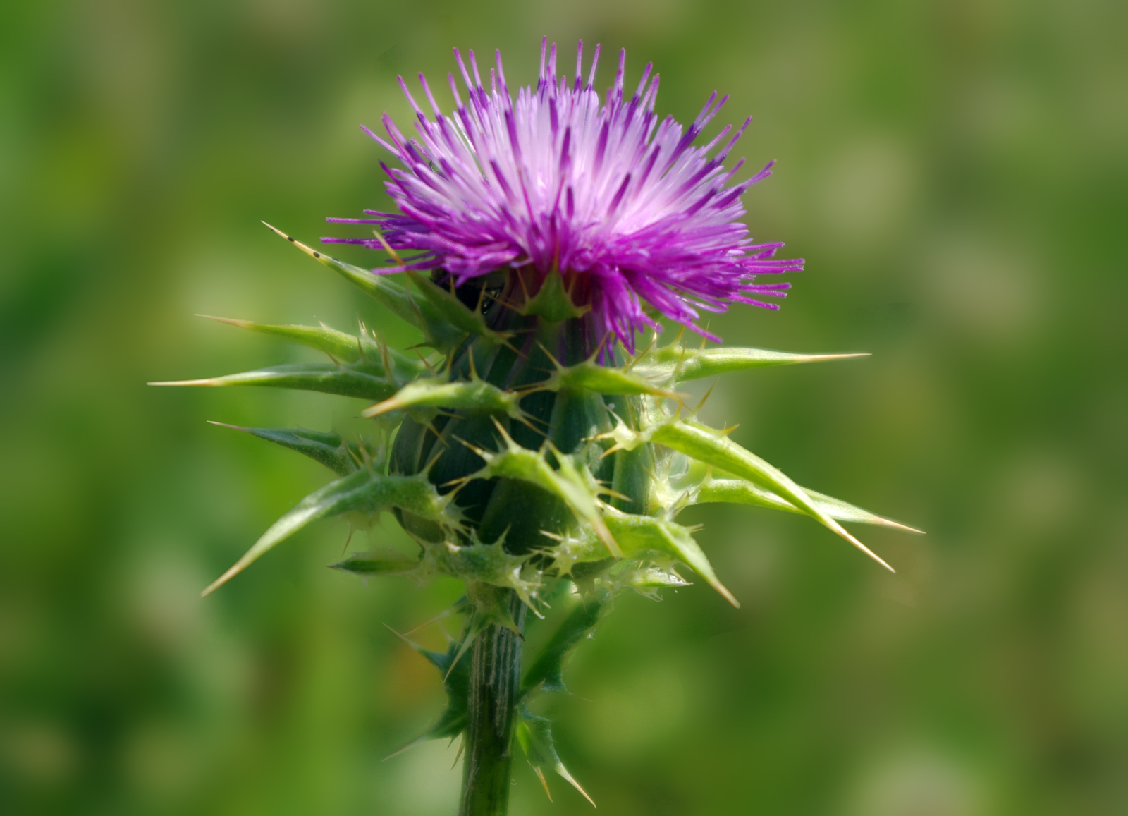 Milk Thistle Extract Has Shown Extremely Promising Activity Against Human Liver Cancer 38