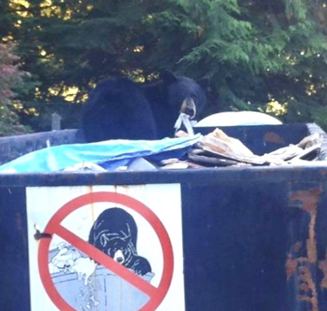 Bear in the trash can