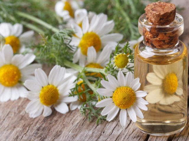 Daisy flower, oil