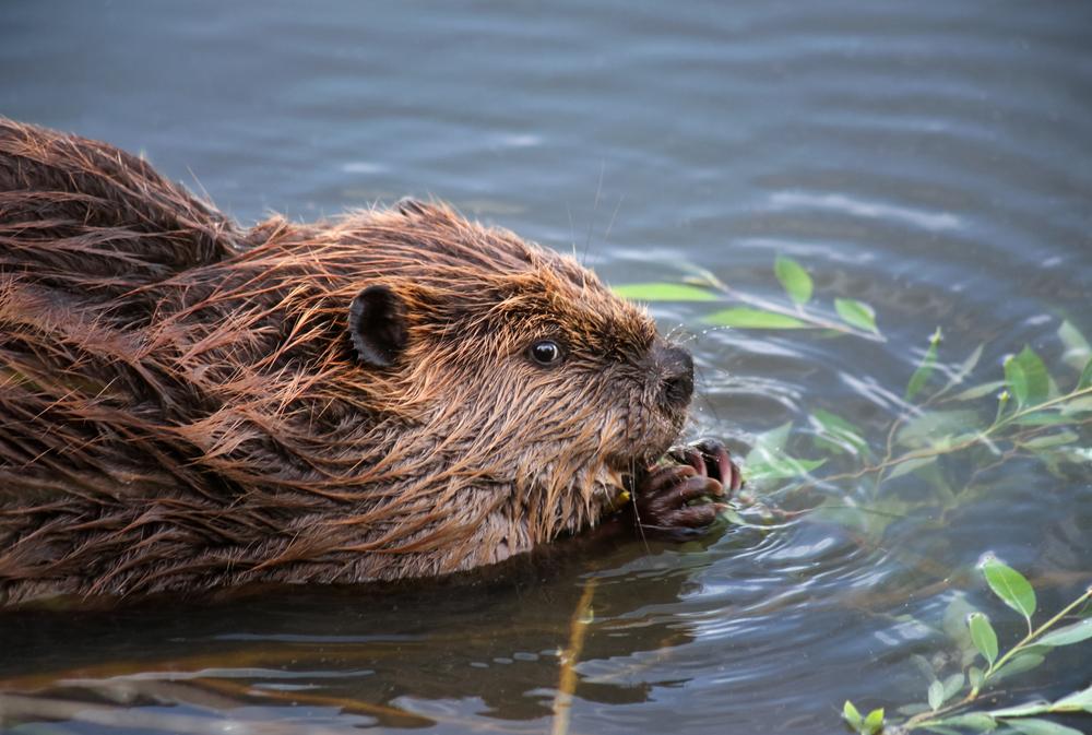 jet beaver