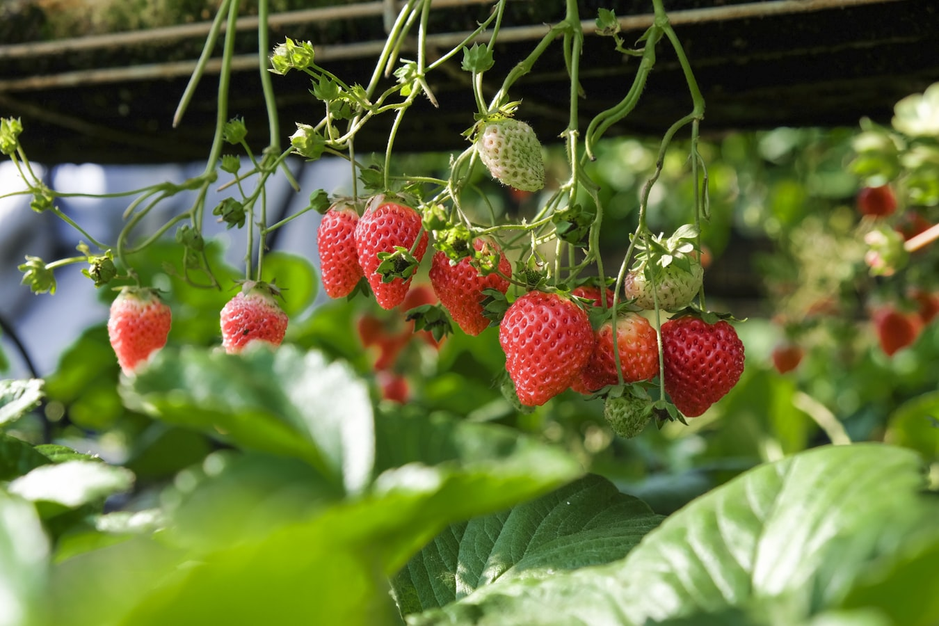 Strawberry Anti-Aging Top Food! Protect You From Aging